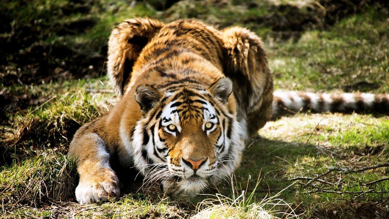 Tigre l 39 art de l 39 embuscade zapping sauvage youtube - Photo de tigre blanc a imprimer ...