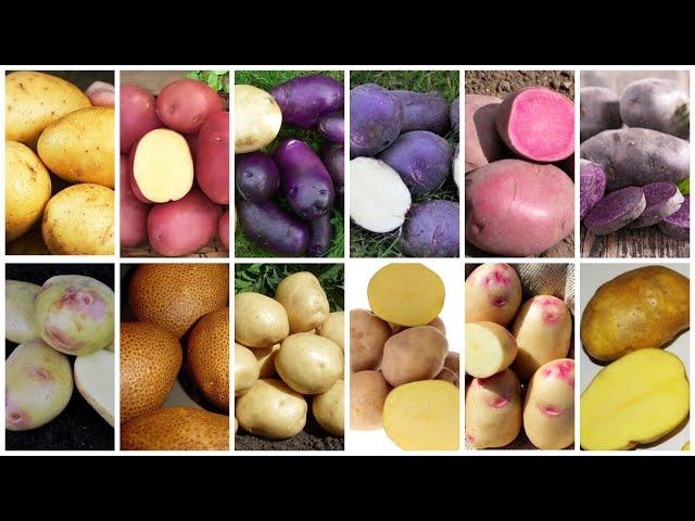 Семенной картофель редких сортов. Сбор заказов на весну 2021