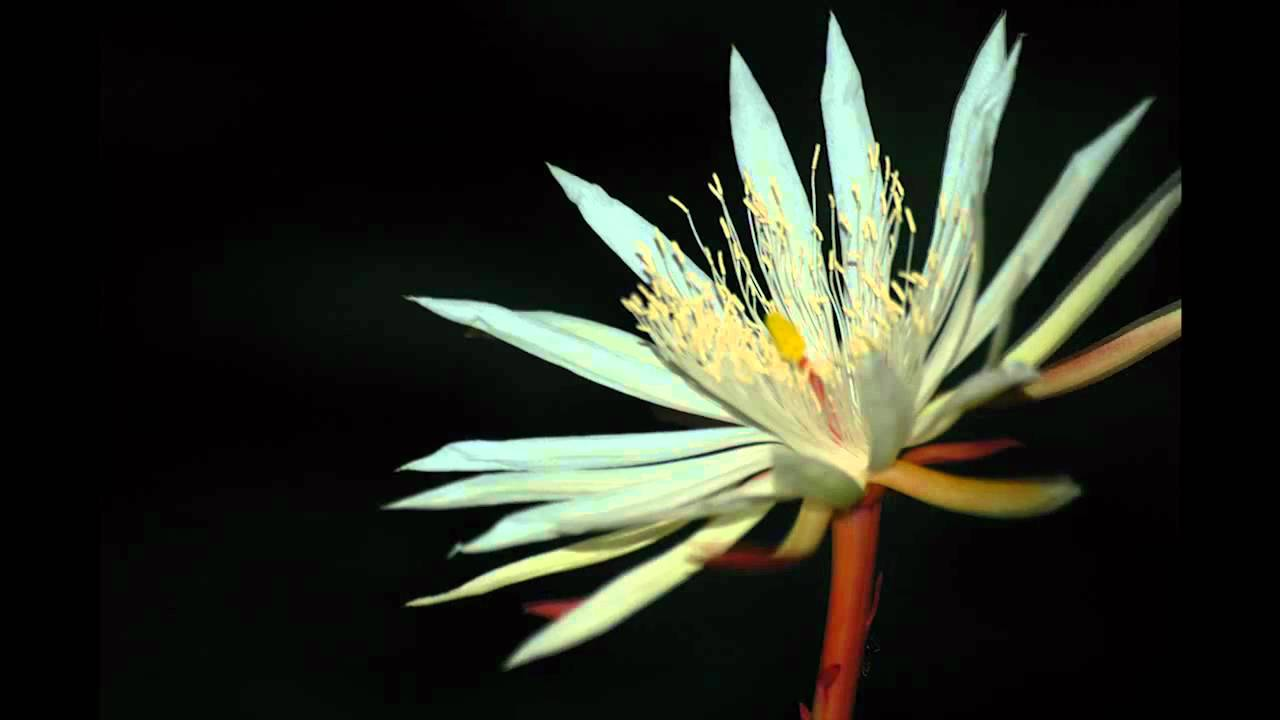Kadupul Epiphyllum Flower Blooming HD  YouTube