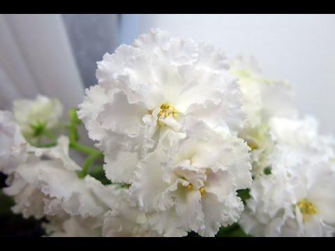 белая махровая фиалка Свадебный букет