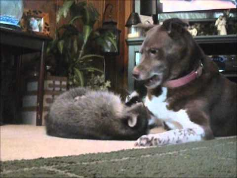 Raccoon and Dog Playing