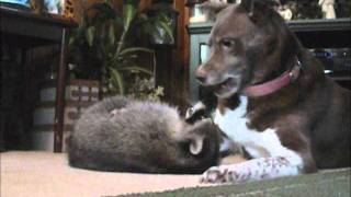 Raccoon and Dog Playing