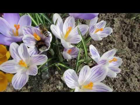 Первые весенние цветы в моем саду. 2019   Про Сад с Любовью