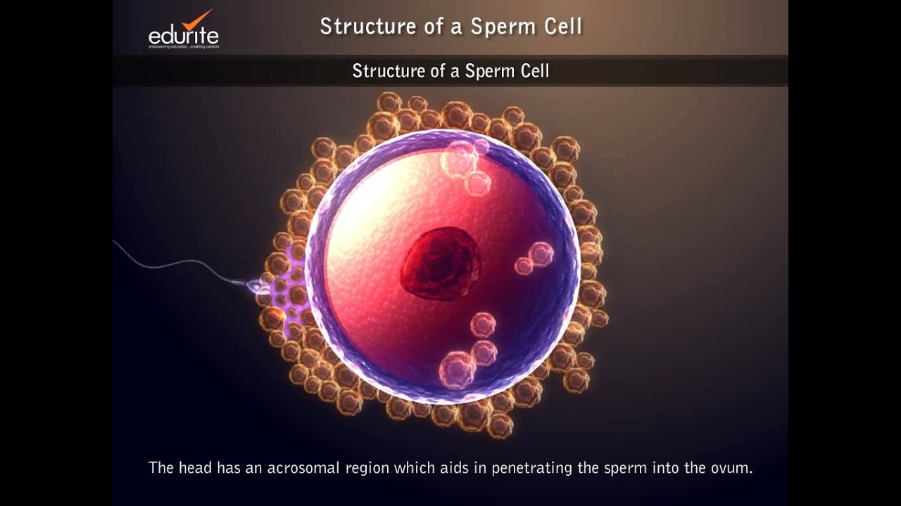 Structure of a Sperm Cell - YouTube