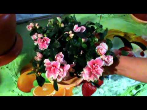 Как заставить цвести азалию в домашних условиях