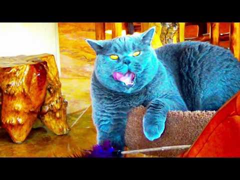 "British Blue Cat  Oophen "" Chmokey Chmoke !! """
