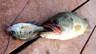 How to use LIVE BLUEGILL to Catch Bass!!