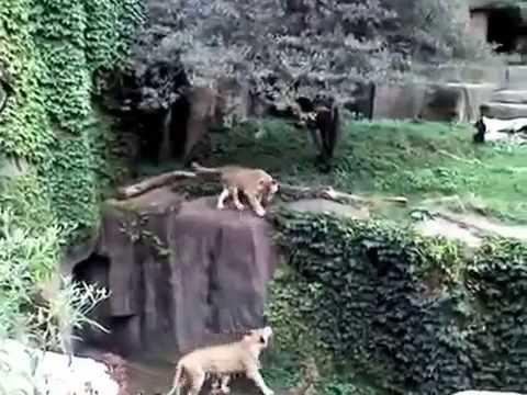Сонник Тигр приснился, к чему снится Тигр во сне видеть?