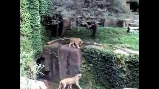 Львица прогоняет льва за измену. Чикагский зоопарк