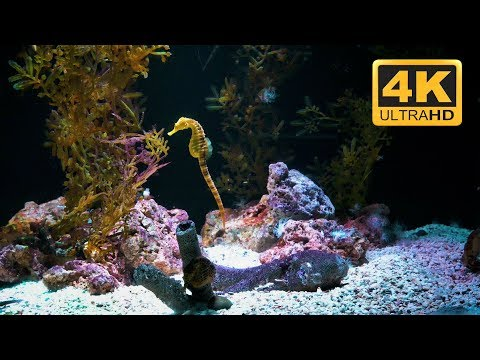 Trickling Water and Seahorse Aquarium Sleep Aid in 4K