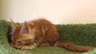 котёнок мейн-кун кот HELENA HOUSE Vegas, возраст 10 недель