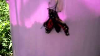 ニュージーランドの夏に 我家の庭で羽化して飛び立つ 沢山のアゲハ蝶達...