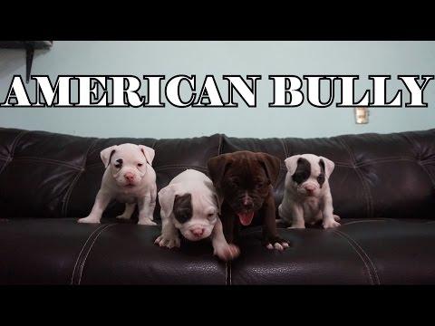 Cachorros American Bully Pocket De Mes y Medio (HIJOS DE MOLLY)