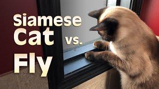 Siamese Cat vs. Fly