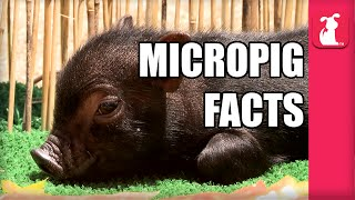 7 Interesting Pig Facts!