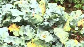 Paddy Fields, Broccoli, Basil, Cabbage, Chilli - Vegetable Garden At Home