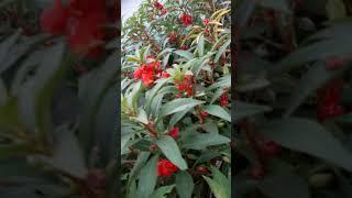 봉숭아꽃! 시골집 장독대옆에 빨간게핀 주먹 봉숭아~^