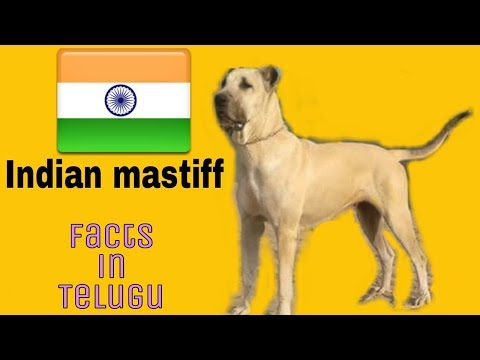 Indian mastiff dog Facts | Indian breed | Telugu | Taju logics