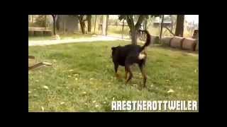 Rottweiler Killing A Snake