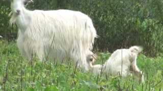 Zza rogów (kozy karpackie)