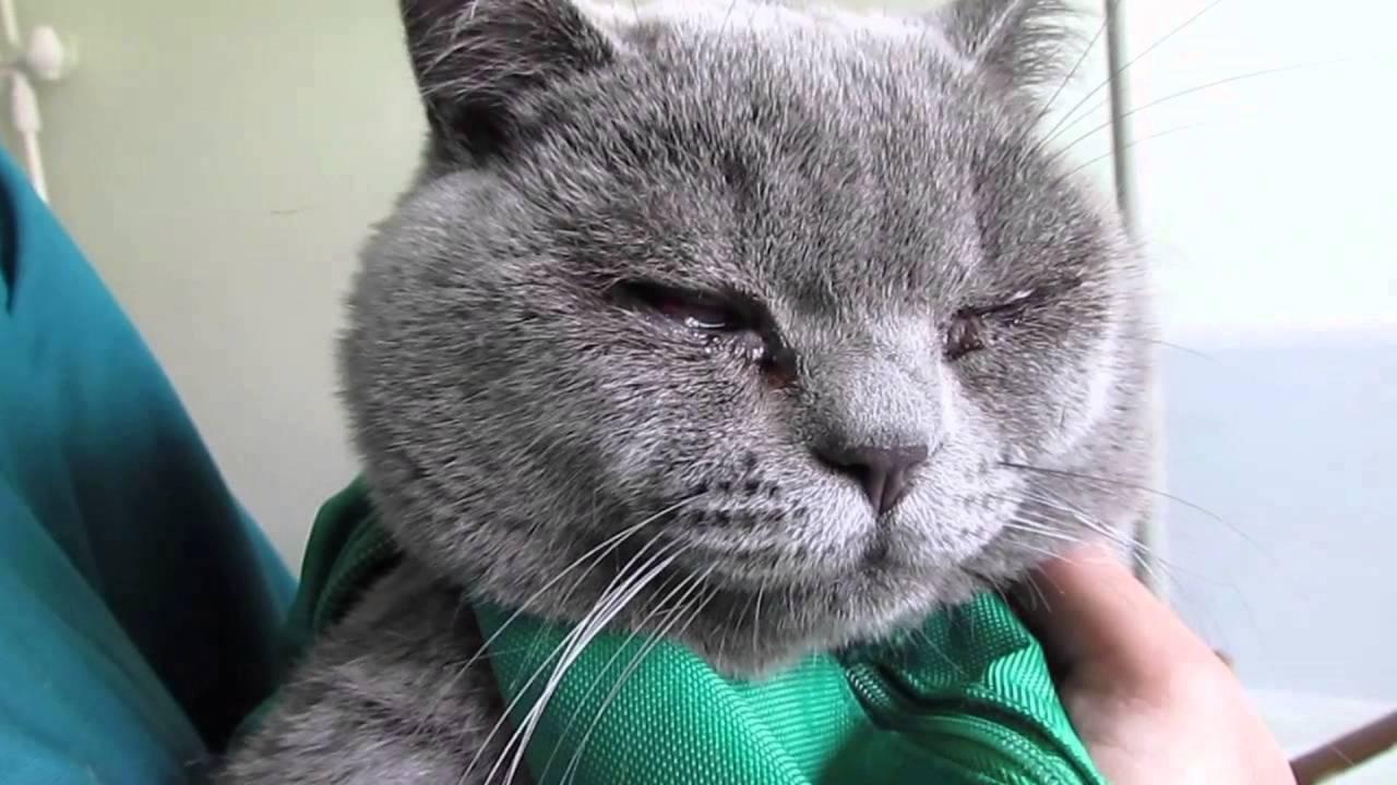 Если у кота постоянно слезятся глаза
