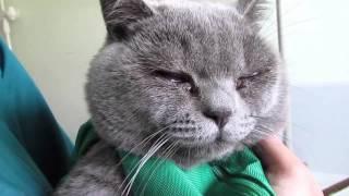 видео Простуда у кошек. Кошка чихает. Ринотрахеит кошек
