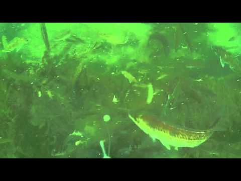 Long Island Sound Kayak Blackfishing in the Shallows: Hot Bite! Underwater View!