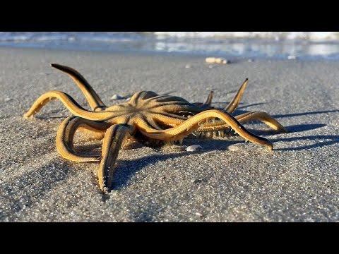 Nine-Armed Sea Star (Starfish) Crawling On The Beach In Naples, FL