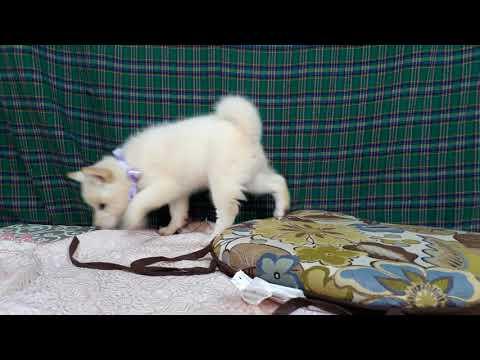 PuppyFinder.com : Belle the white Shiba Inu