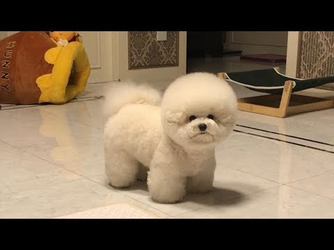 Cute Bichon Frise Puppies Videos Compilation – Cute And Funny Bichon Frise Moments #4