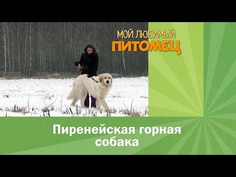 Пиренейская горная собака. Интересные факты