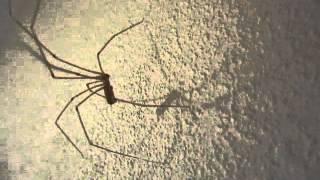 Star Trek (Classic) Cellar Spider Dance