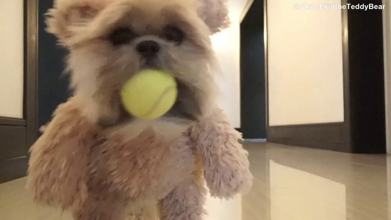 Munchkin loves playing fetch! - YouTube