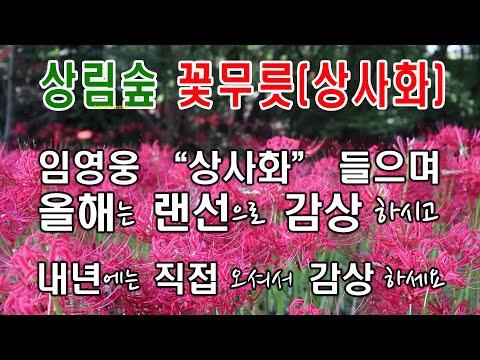 ㅣ랜선꽃놀이ㅣ상림공원에 상사화(꽃무릇)이 활짝 피었습니다. 임영웅이 부른 상사화 들으면서 꽃구경하세요~!