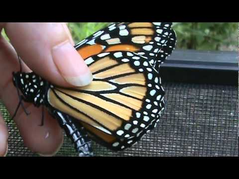 Monarch butterfly tagging