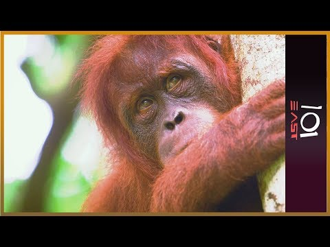 The Orangutan Whisperer - 101 East