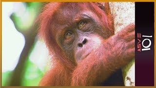 🇦🇺 The Orangutan Whisperer | 101 East