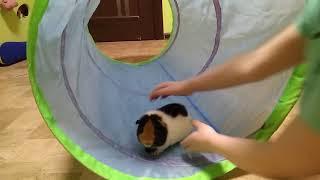 Морская свинка и тоннель