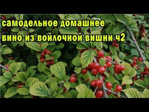 Вопрос: Сколько дней растёт китайская вишня?