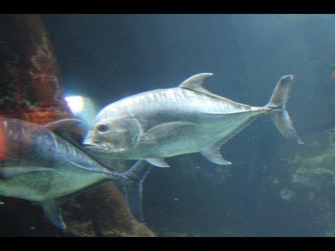 Giant Trevally Freeswimming Waikiki Aquarium, Hawaii!!