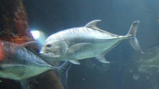 Giant Trevally Freeswimming Waikiki Aquarium, Hawaii!! Thumbnail