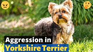 Yorkshire Terrier Aggression: Some Important Topics you need to know