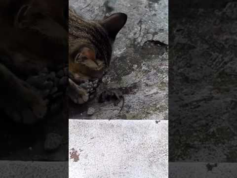 When cat eat Baby Mouse