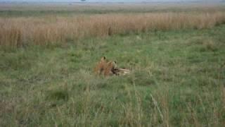 3匹のライオンの兄弟。1頭は何ともお茶目です。 無邪気に戯れる様子は、...