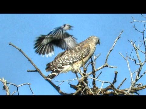 Blue Jay Attacks Red Shouldered Hawk