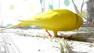 無言動画です。上から蠅帳を被せてみましたが、雑草(ヒシバ)に夢中で...