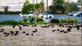 The Crow Horde of San Marcos, California