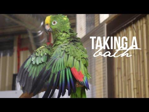 Elmo, the Amazon Parrot, Taking a Bath! Parrot Partner Canada