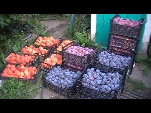 Собран урожай слив с одного  пяти летнего дерева сорта Ренклод альтана 80 кг. плодов.
