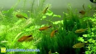 Хасемания - рыбка для маленького аквариума купить